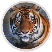 Bengal Tiger Laying In Water Round Beach Towel