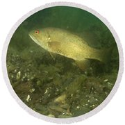 Smallmouth Bass Protecting Eggs Round Beach Towel