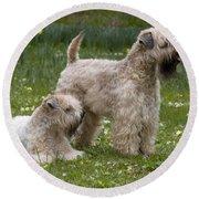 Soft-coated Wheaten Terriers Round Beach Towel