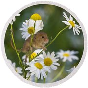 Young Eurasian Harvest Mouse Round Beach Towel