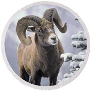 25084, Bighorn Sheep, Winter, Jasper Round Beach Towel