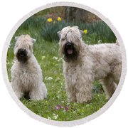 Soft-coated Wheaten Terriers Round Beach Towel