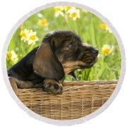 Wire-haired Dachshund Puppy Round Beach Towel