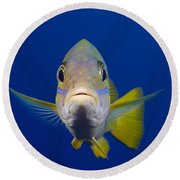 Bluestripe Snapper Round Beach Towel