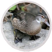 Juvenile Male Wood Duck Round Beach Towel