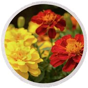 Tagetes Patula Fully Bloomed French Marigold At Garden In Octob Round Beach Towel