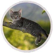 Kitten In A Tree Round Beach Towel