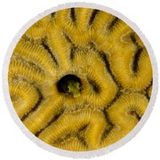 A Blenny In Brain Coral Round Beach Towel