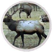 A Bull Elk  Round Beach Towel