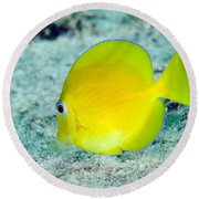 A Juvenile Blue Tang Searching Round Beach Towel