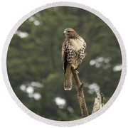 A Red-tailed Hawk Juvenile Round Beach Towel