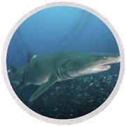 A Sand Tiger Shark Above A School Round Beach Towel