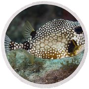 A Spotted Trunkfish, Key Largo, Florida Round Beach Towel
