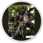 A Western Bluebird In A Tree Round Beach Towel
