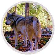 A Wolf Gazes Back Round Beach Towel