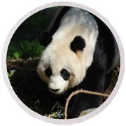 Absolutely Beautiful Giant Panda Bear With A Sweet Face Round Beach Towel