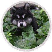 Adorable Alusky Puppy Hiding In A Garden Round Beach Towel