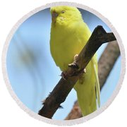 Adorable Face Of A Yellow Budgie Parakeet Round Beach Towel