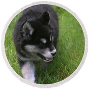 Adorable Fluffy Alusky Puppy Walking In Tall Grass Round Beach Towel