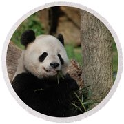 Adorable Giant Panda Eating A Shoot Of Bamboo Round Beach Towel