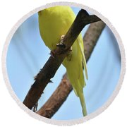Adorable Little Yellow Parakeet In A Tree Round Beach Towel