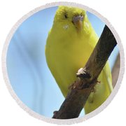 Adorable Yellow Budgie Parakeet Bird Close Up Round Beach Towel