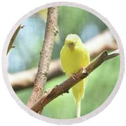 Adorable Yellow Budgie Parakeet Relaxing In A Tree Round Beach Towel