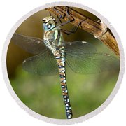 Aeshna Mixta Dragonfly Round Beach Towel