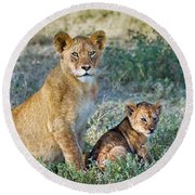 African Lion Panthera Leo Family Round Beach Towel