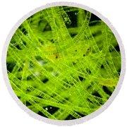 Algae Spirogyra Sp., Lm Round Beach Towel
