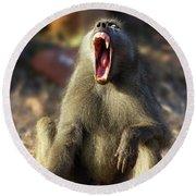Alpha Baboon Yawning, Kruger Park Round Beach Towel