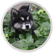 Alusky Pup Peaking Out Of Green Foliage Round Beach Towel