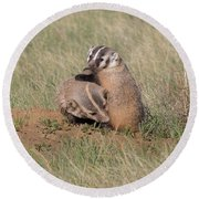 American Badger Cub Climbs On Its Mother Round Beach Towel