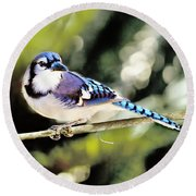 American Blue Jay On Alert Round Beach Towel