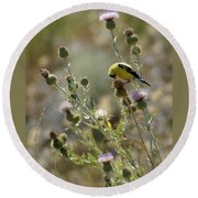 American Goldfinch Having Lunch On Bakery Hill Round Beach Towel