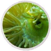 Anemone Shrimp2 Round Beach Towel