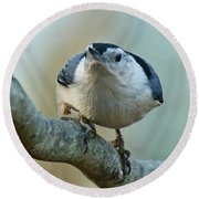 Angry White Breasted Nuthatch Round Beach Towel