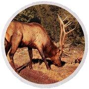 Animal - Elk -  An Elk Eating Round Beach Towel