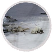 Arctic Fox Eating Round Beach Towel