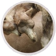 Baby Camels Round Beach Towel