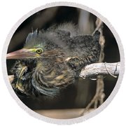 Baby Green Heron Resting On A Branch Round Beach Towel
