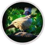 Backyard Garden Series - Quail In A Pear Tree Round Beach Towel