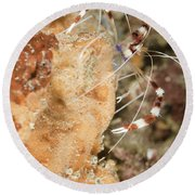Banded Coral Shrimp Round Beach Towel