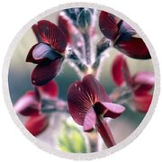 Barbed Thermopsis Or Black Pea Round Beach Towel