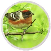 Bay-breasted Warbler Round Beach Towel