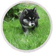 Beautiful Alusky Puppy Dog Walking Through Thick Green Grass Round Beach Towel