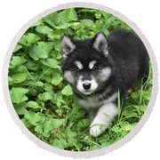 Beautiful Alusky Puppy Peaking Out Of Green Foliage Round Beach Towel