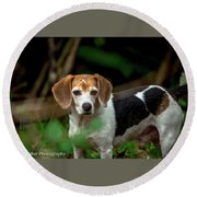 beautiful Beagle Round Beach Towel