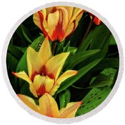 Beautiful Bicolor Tulips Round Beach Towel