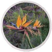 Beautiful Bird Of Paradise Flower In Bloom Round Beach Towel
